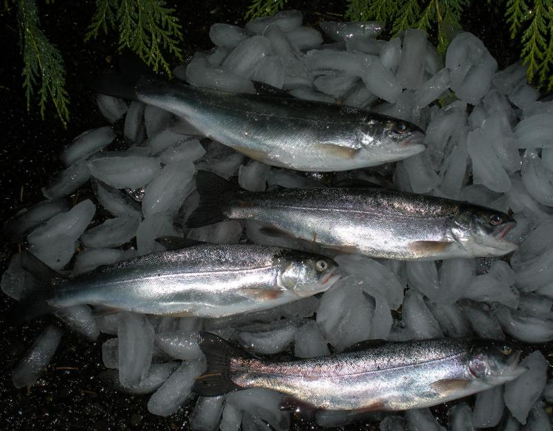 Hagg Lake 4 trout 11.21.2010.jpg